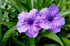 Rujellija klubnevaja (Ruellia tuberosa)