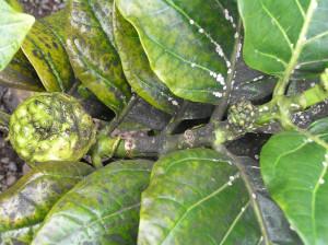 вертициллезное увядание желтеют листья у герани