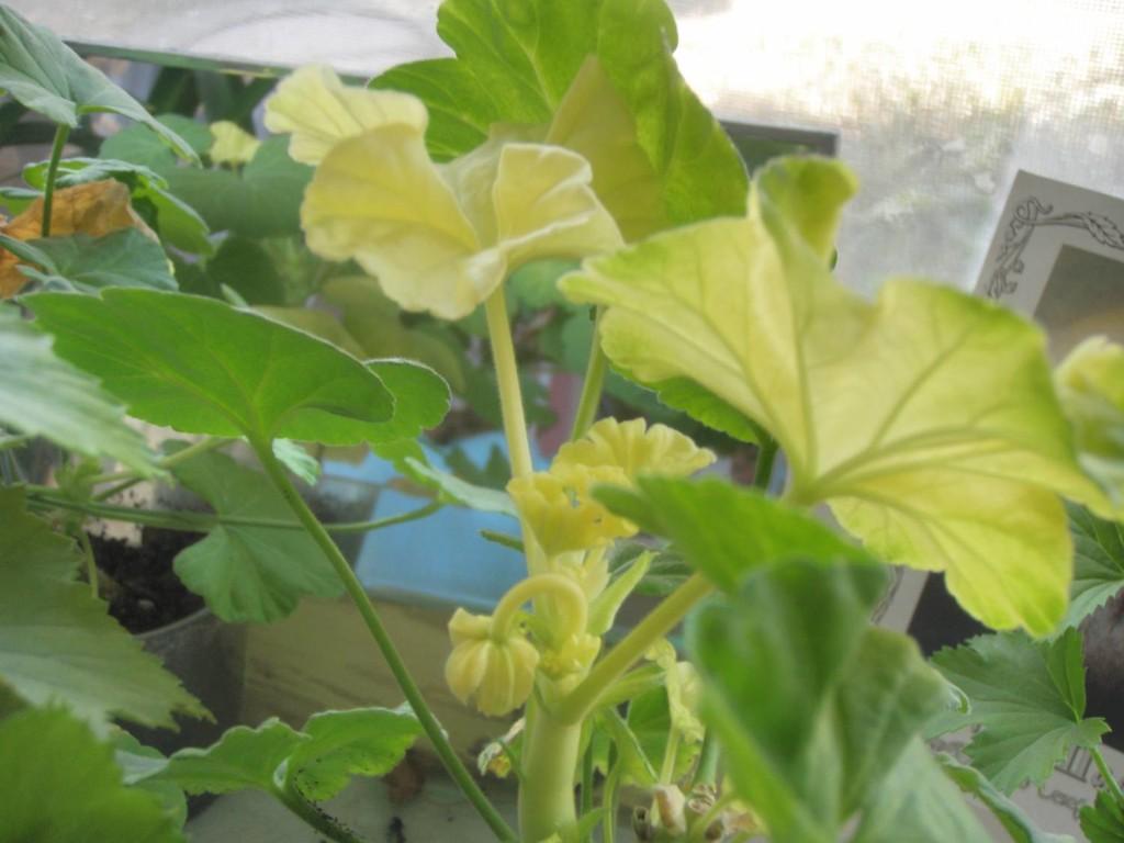 Желтеют листья у герани комнатной