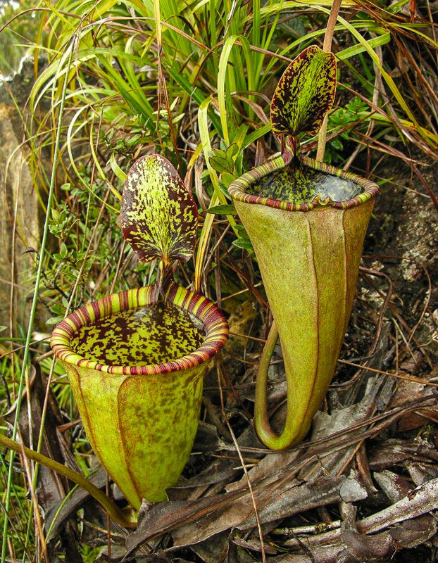 Непентес Аттенборо (Nepenthes attenboroughii)