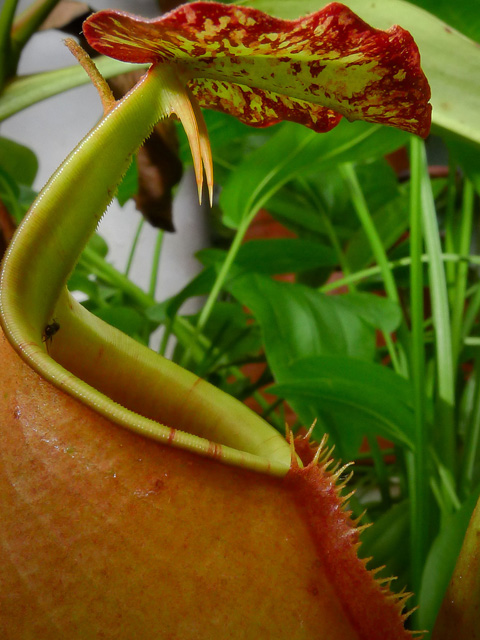 Непентес двушпорый (Nepenthes bicalcarata)