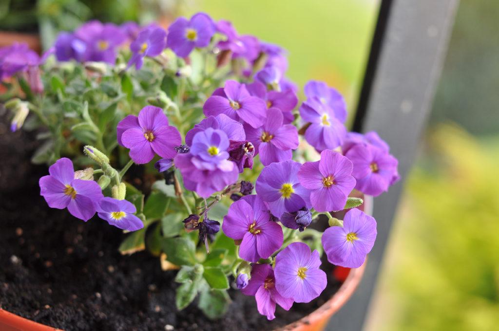 нападения цветков обриета посадка и уход фото щеглы-то всех