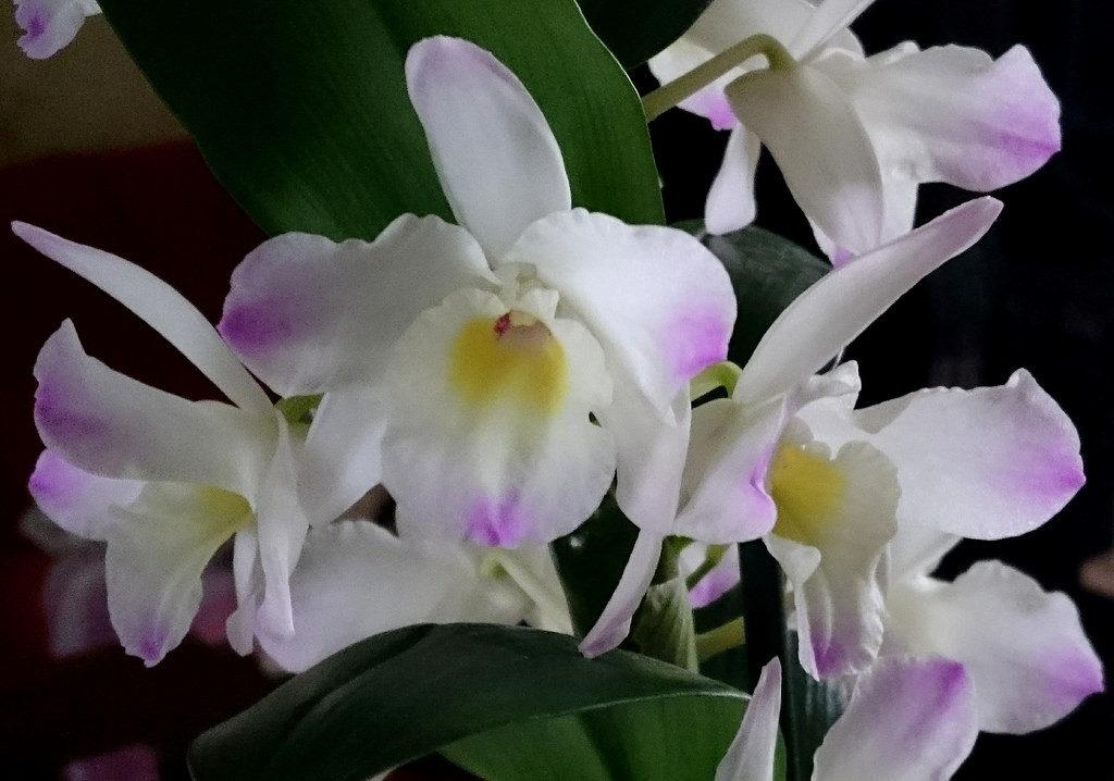 Картинки орхидеи дендробиум