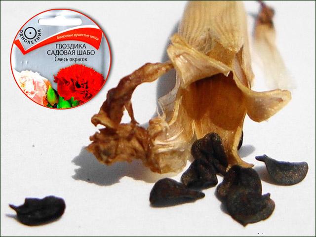 semena-gvozdiki-shabo.jpg