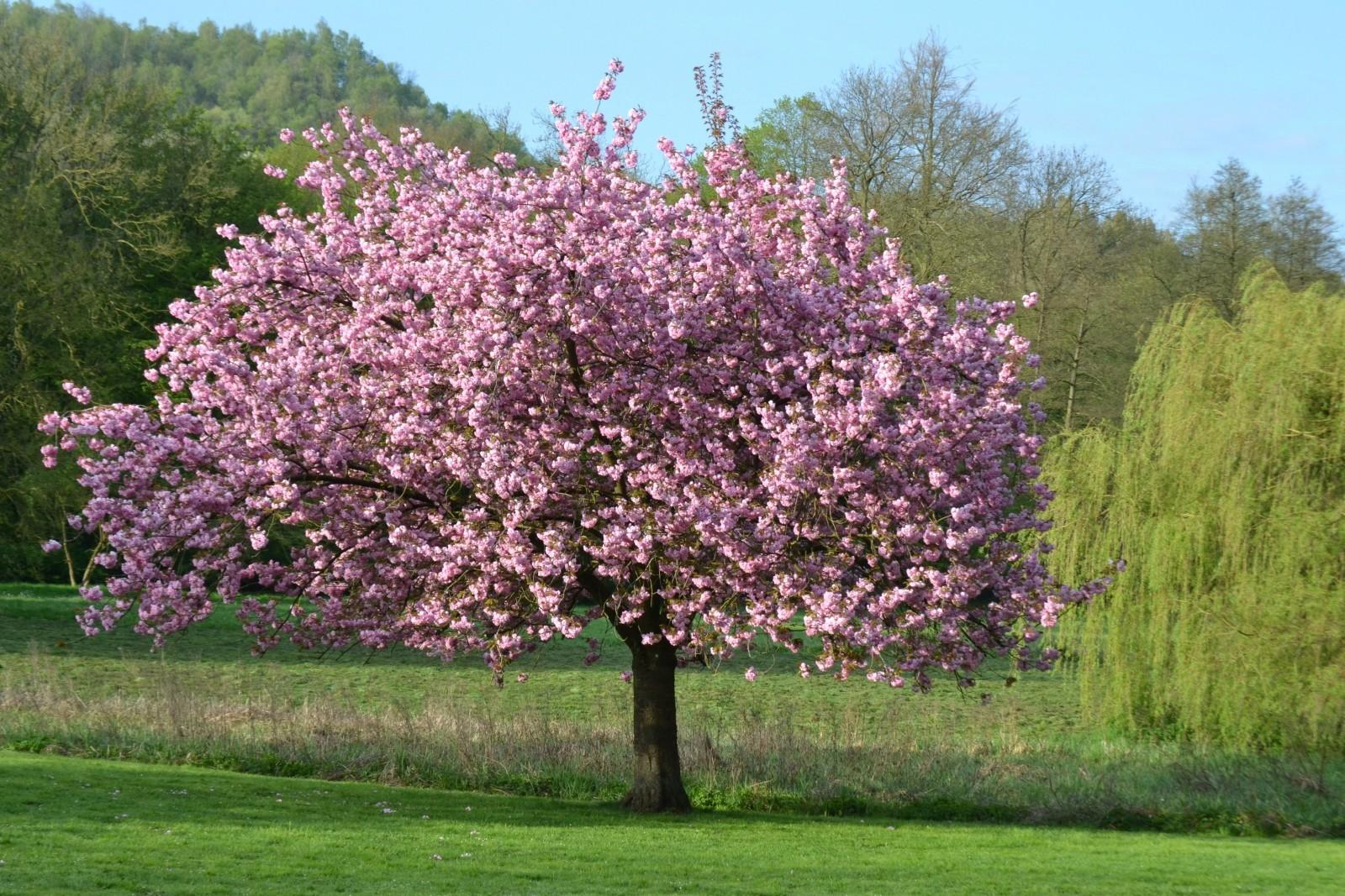 Дерево Могнолия - способы размножения, посадка и уход ...