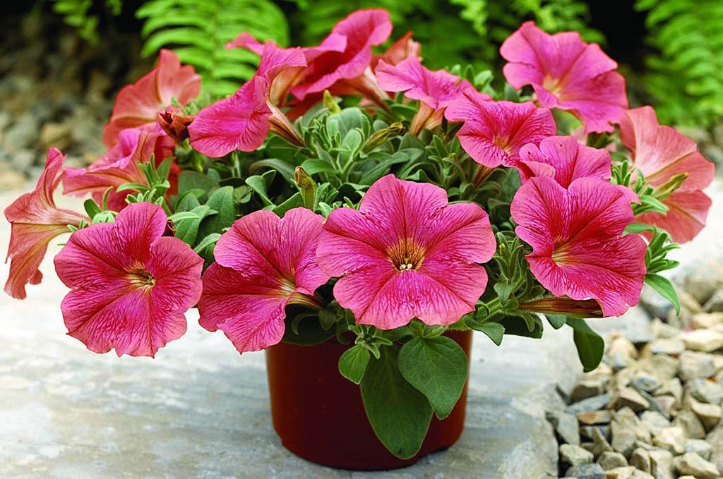 цветок петуния фото