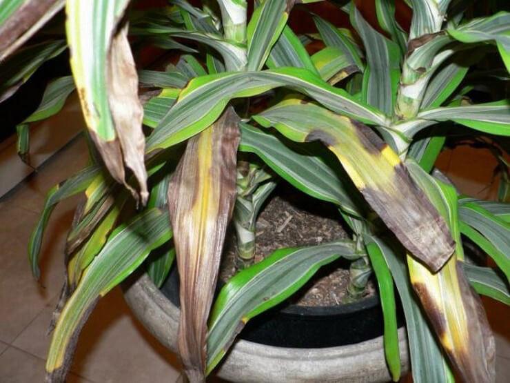 Чёрные листья означают гибель растения