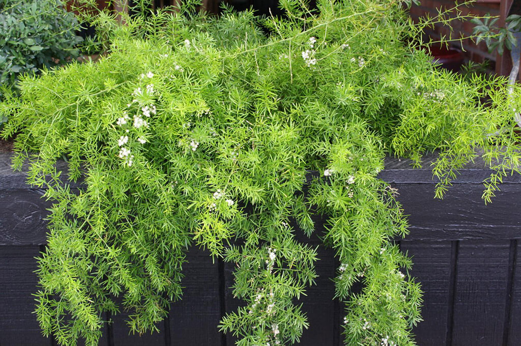 выращивание комнатного аспарагуса
