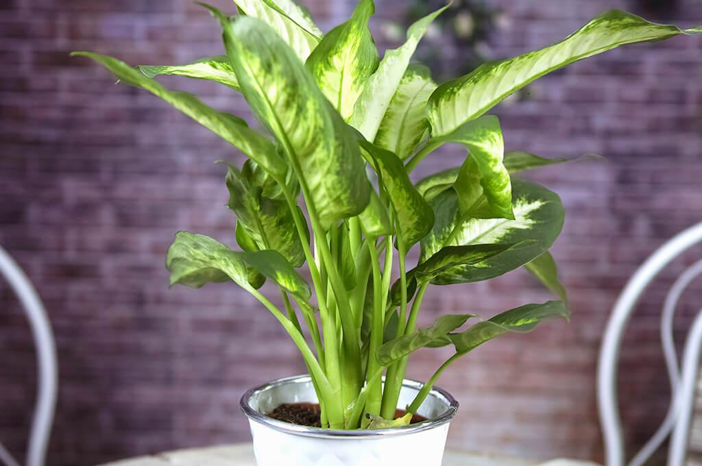 Dieffenbachia растение