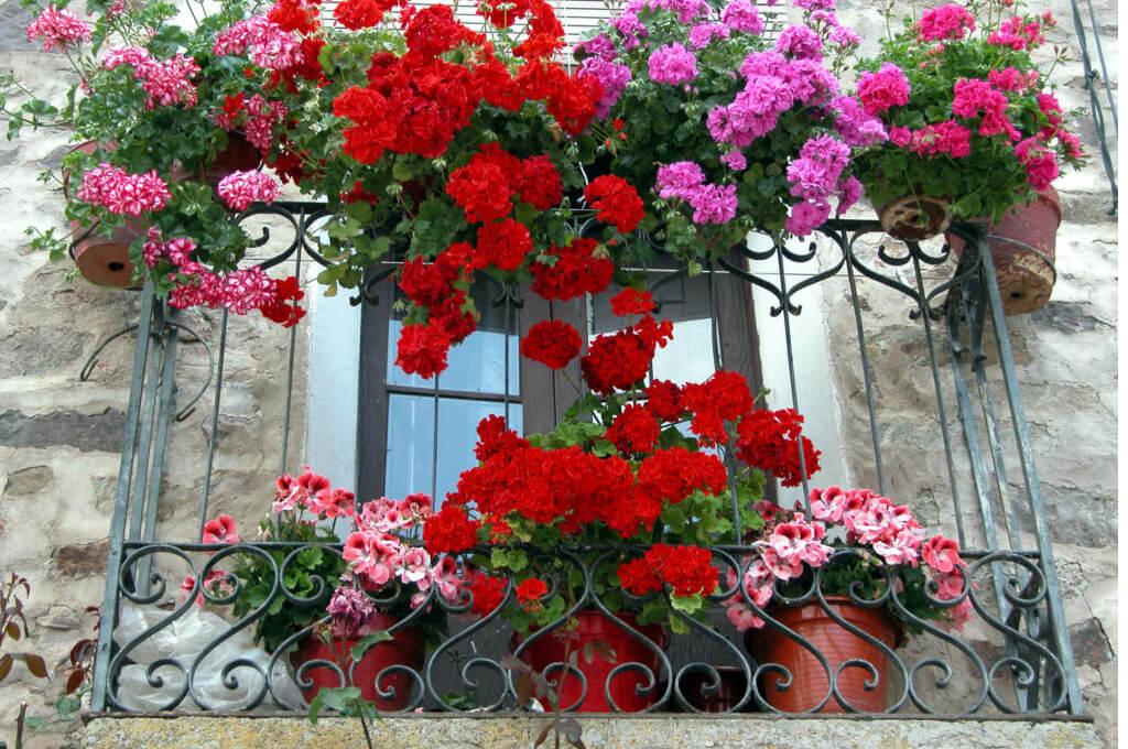 Герань красная, розовая для балкона