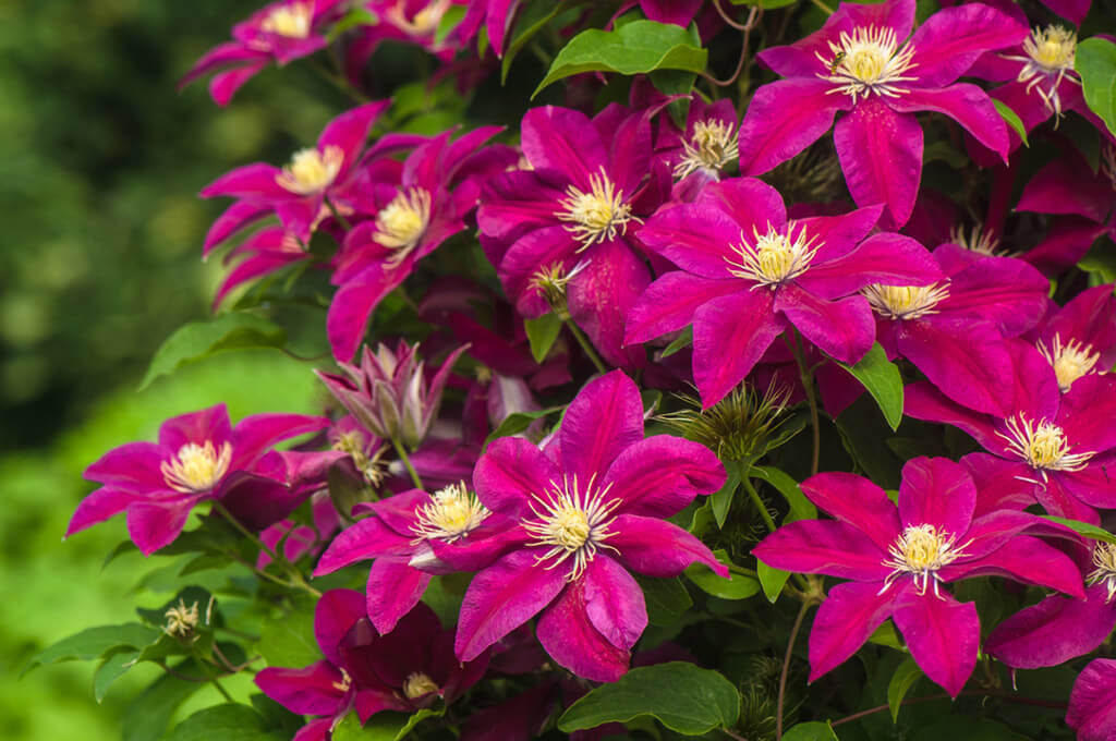 Клематисы служат хорошим украшение сада, клумбы, стены