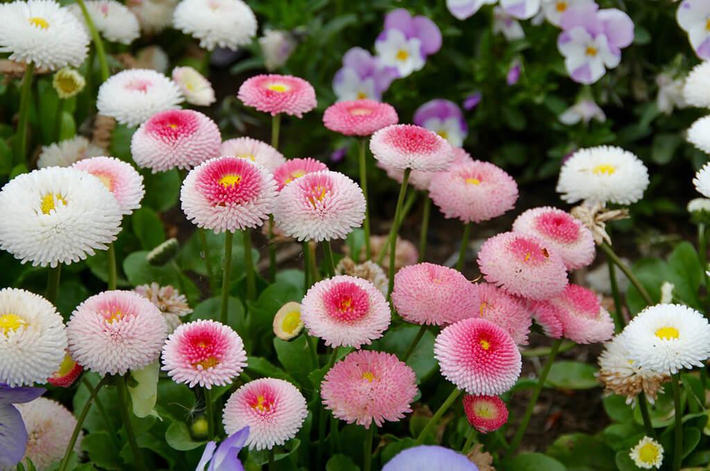Морозоустойчивое низкорослое растение Маргаритка