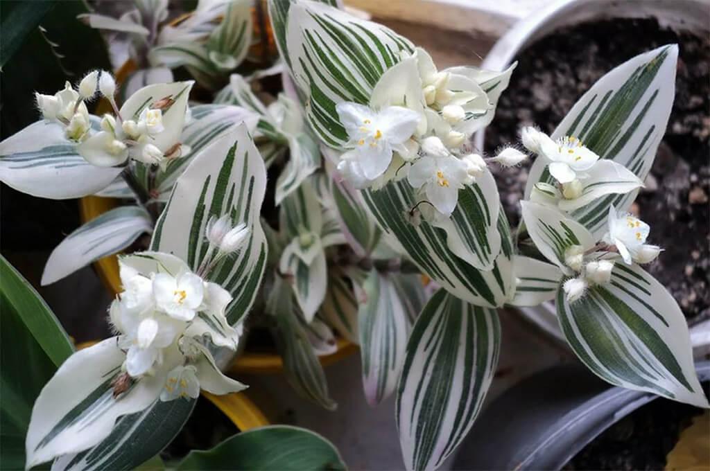 Традесканция не высокое травянистое многолетнее растение