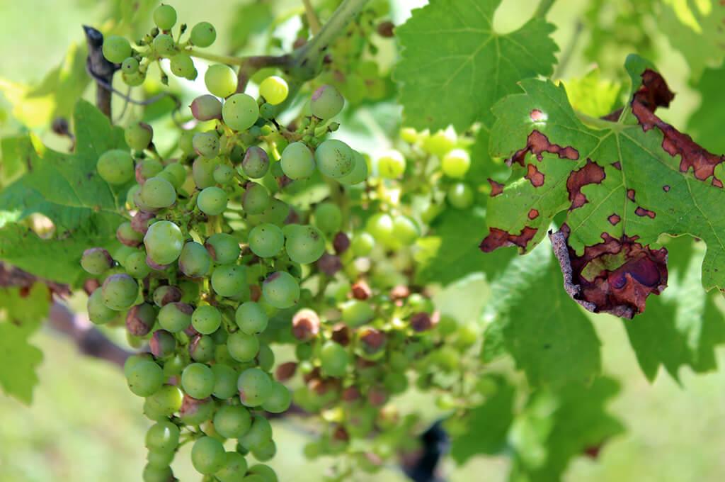 антракноз винограда фото и лечение