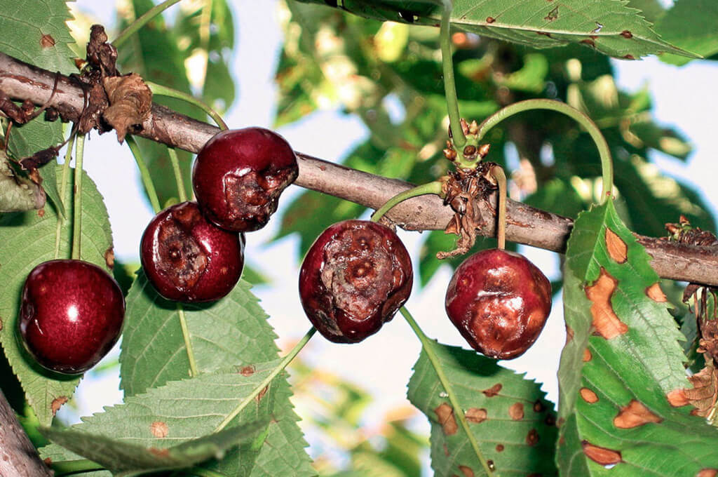 Антракноз вишни описание и фото