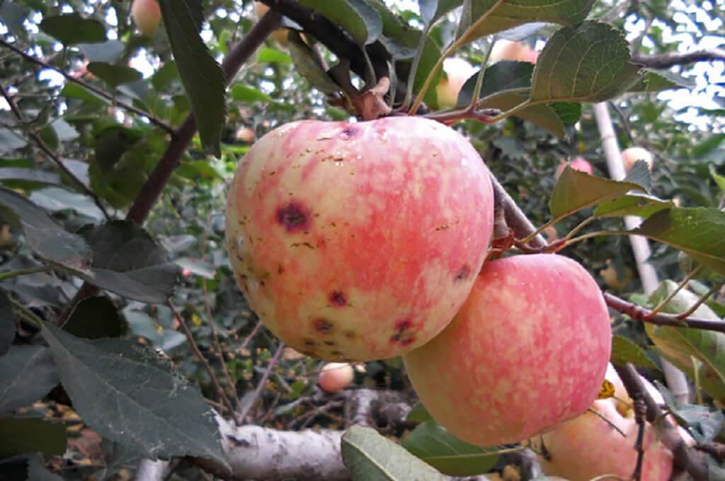 Антракноз яблони лечение